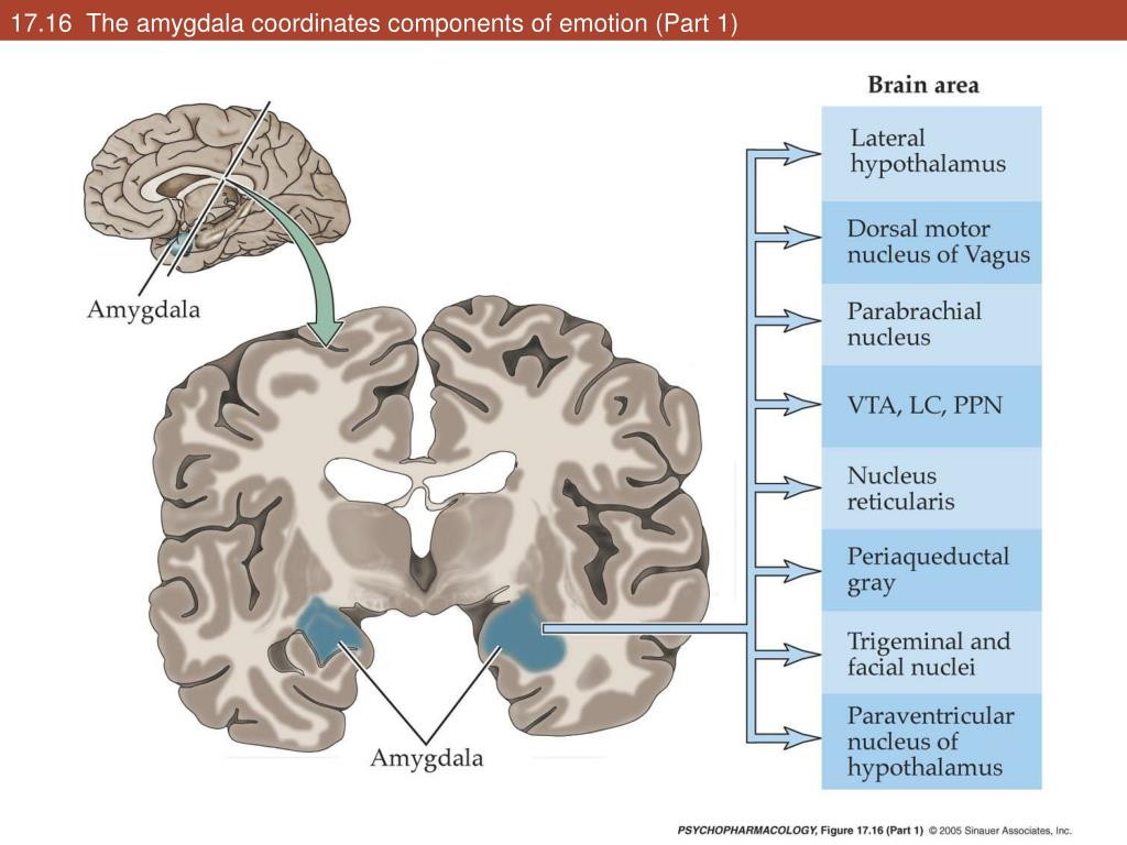17.16  The amygdala coordinates components of emotion (Part 1)