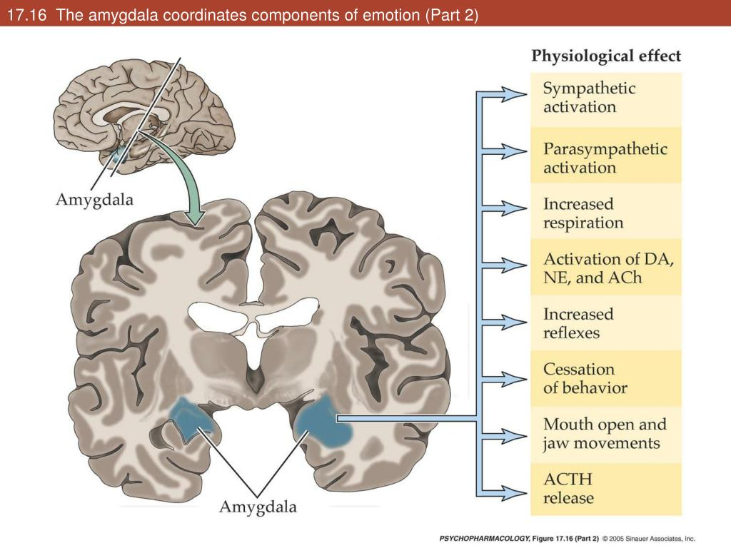 17.16  The amygdala coordinates components of emotion (Part 2)