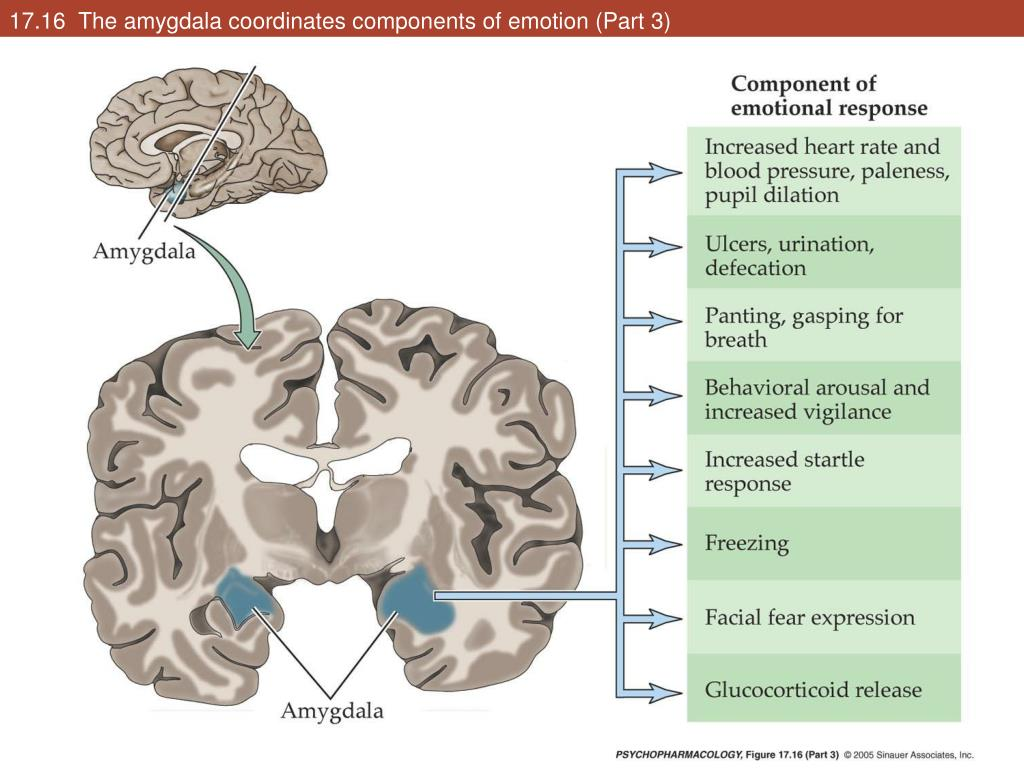 17.16  The amygdala coordinates components of emotion (Part 3)