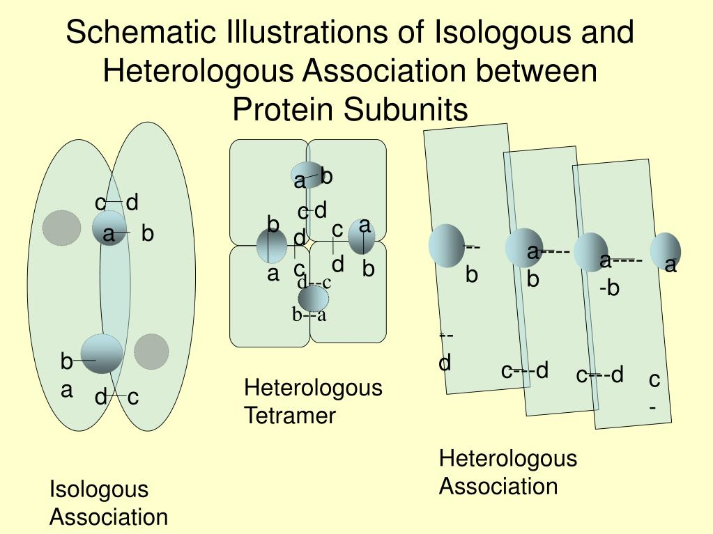 Schematic Illustrations of Isologous and Heterologous Association between Protein Subunits
