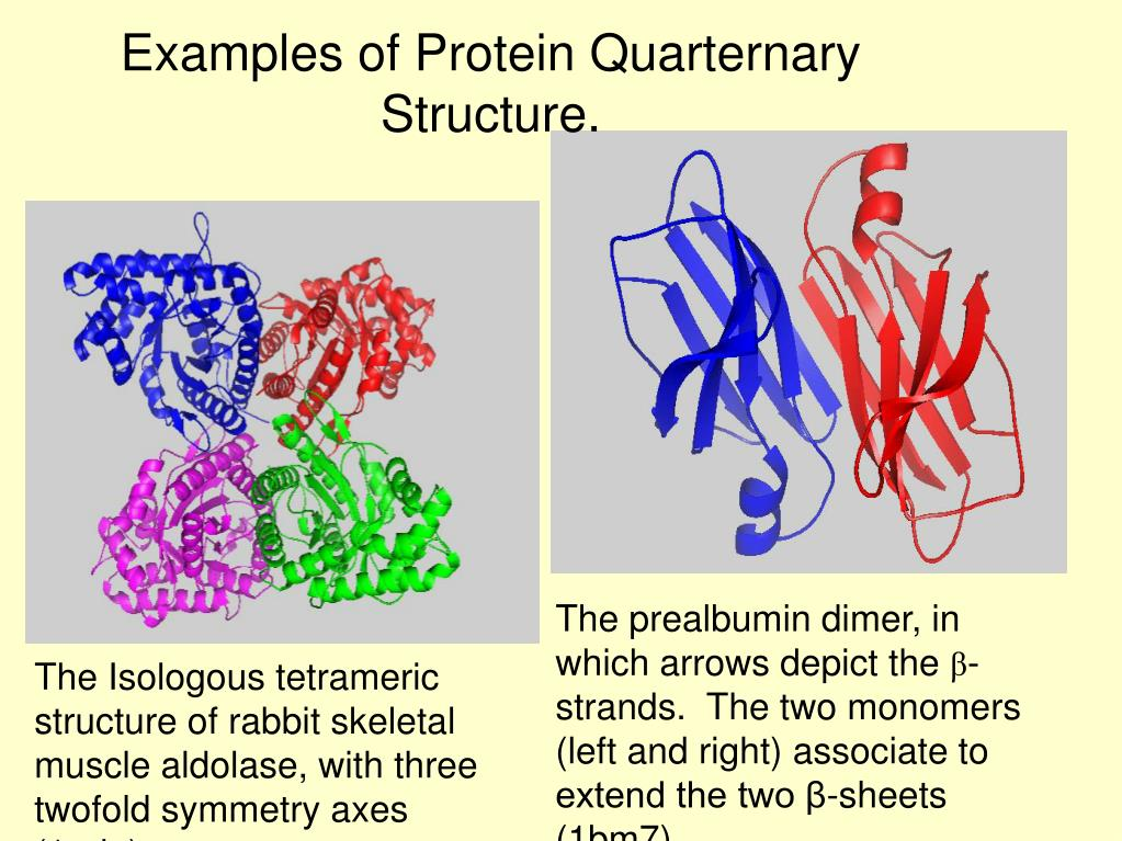 Examples of Protein Quarternary Structure.