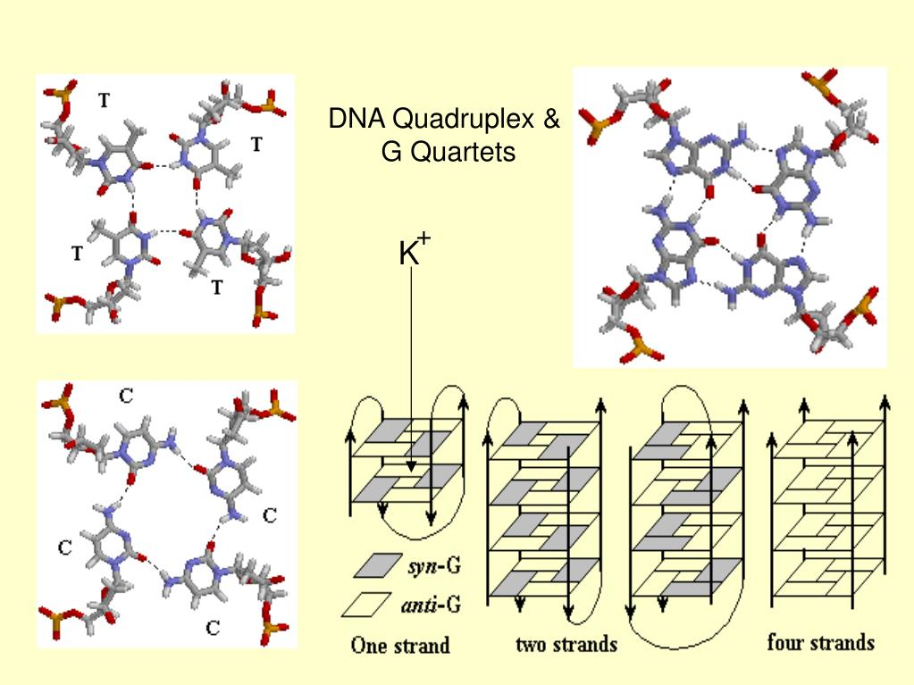 DNA Quadruplex &