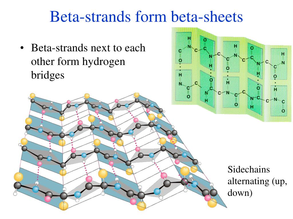 Beta-strands form beta-sheets