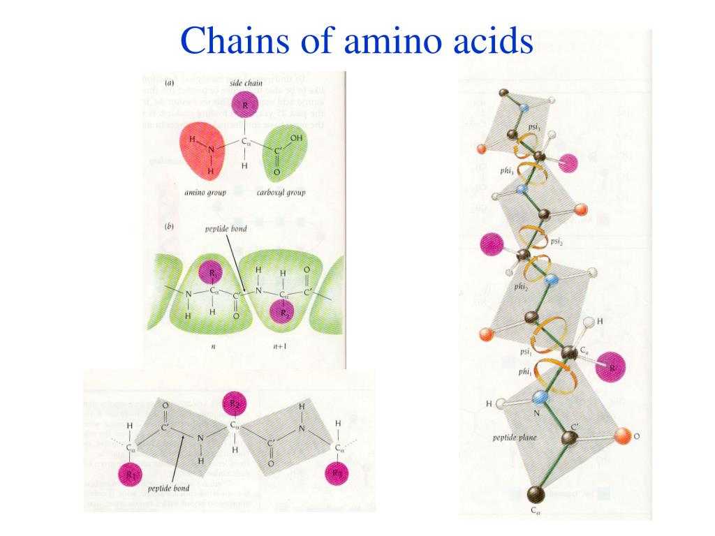 Chains of amino acids