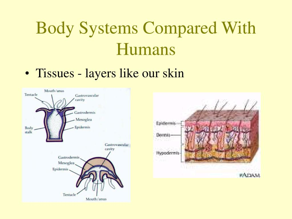 Body Systems Compared With Humans