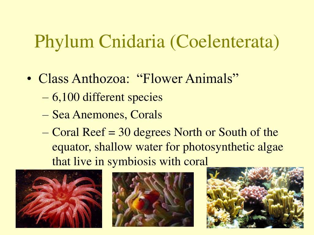 Phylum Cnidaria (Coelenterata)