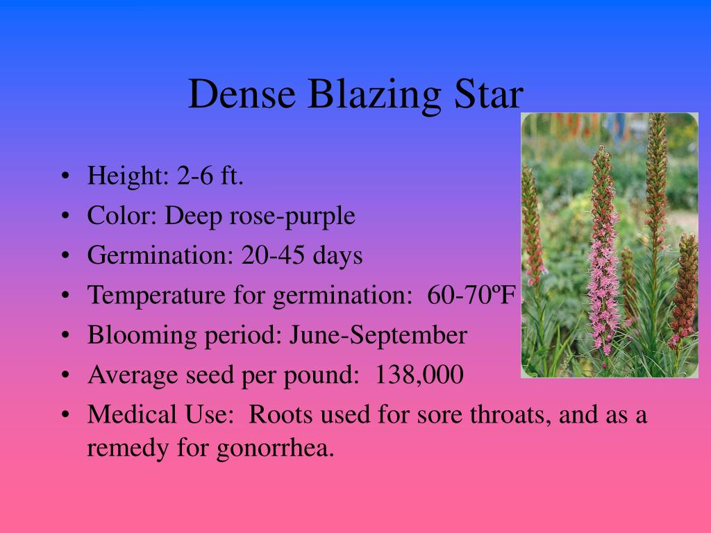 Dense Blazing Star