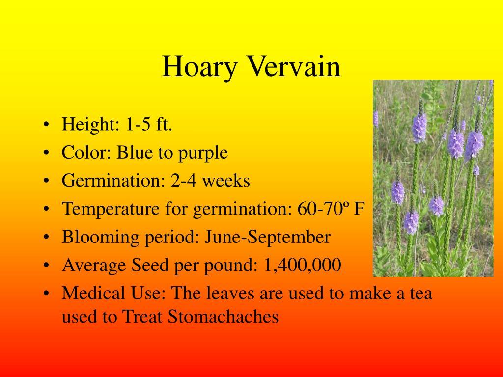 Hoary Vervain