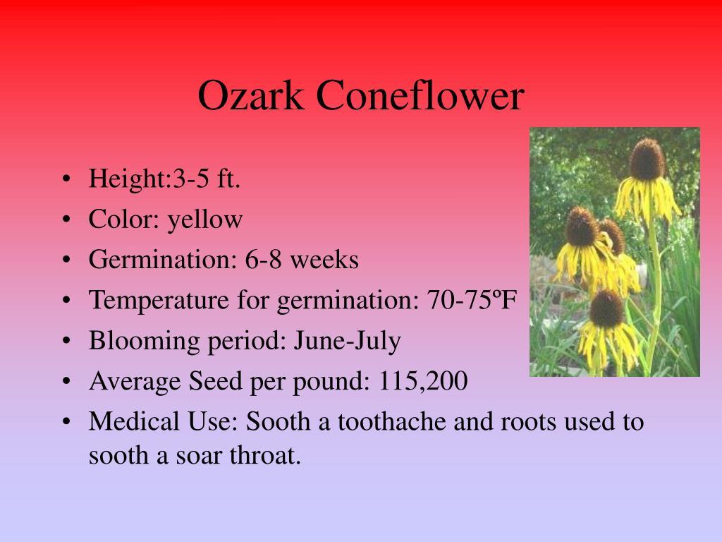 Ozark Coneflower