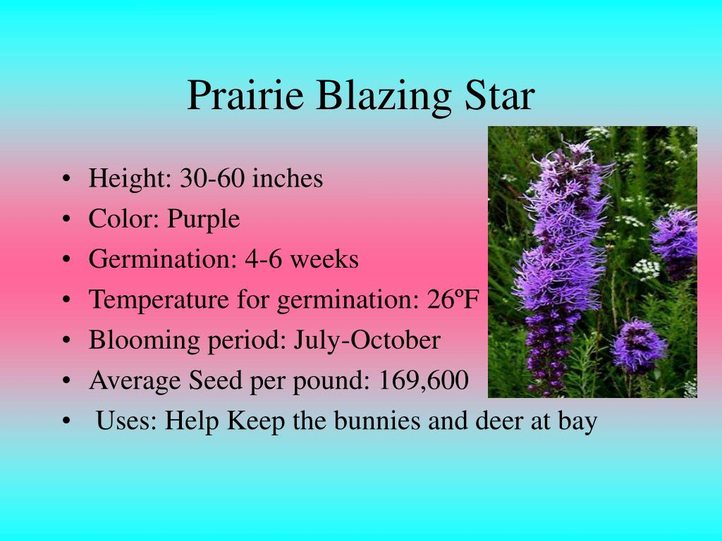 Prairie Blazing Star