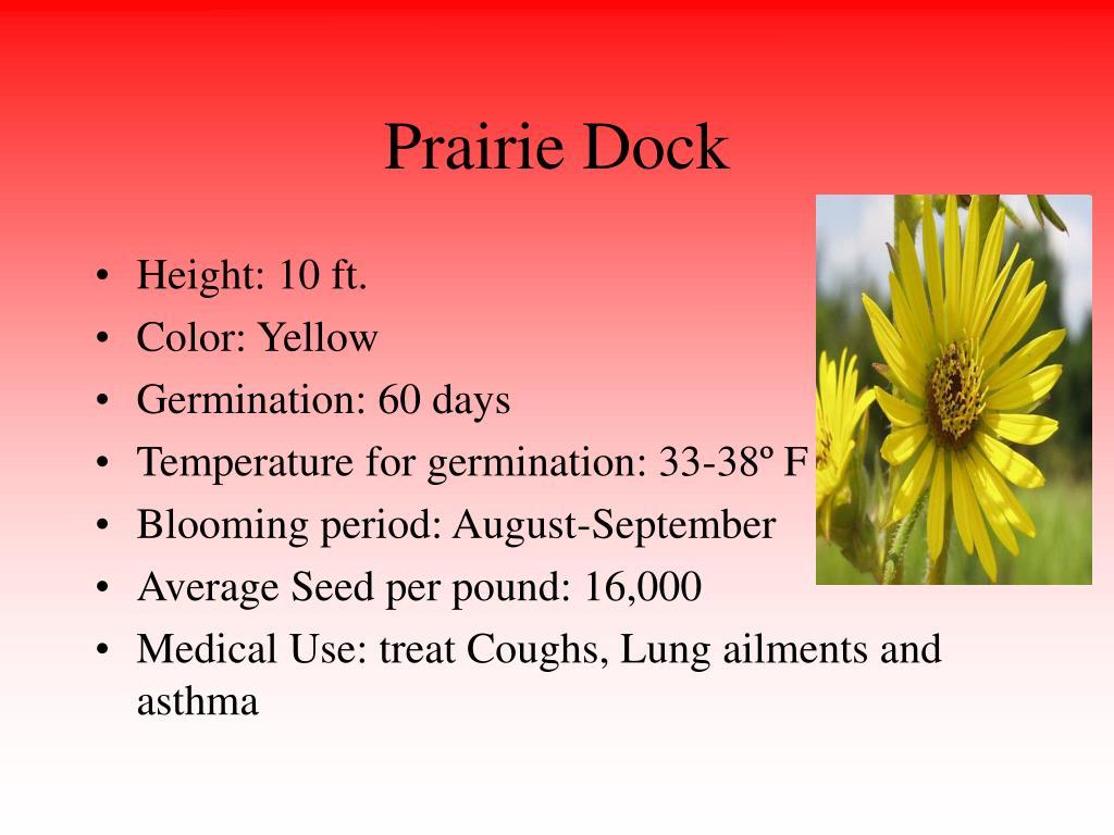 Prairie Dock