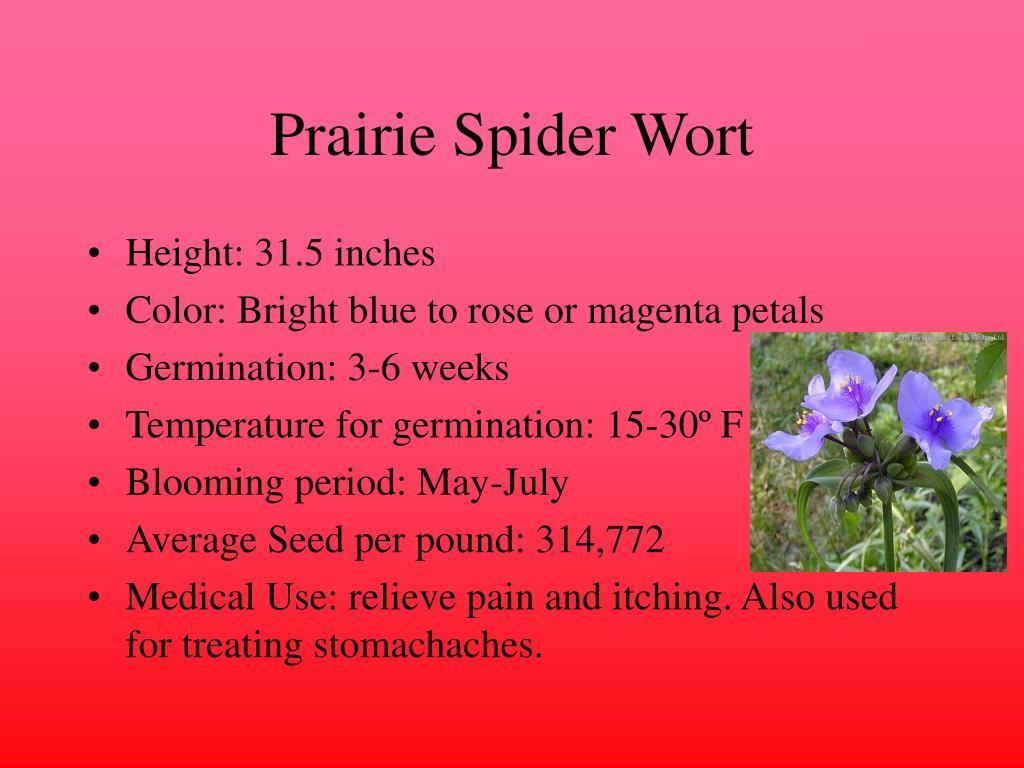 Prairie Spider Wort
