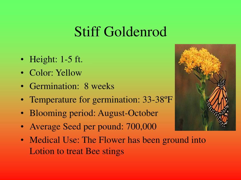 Stiff Goldenrod