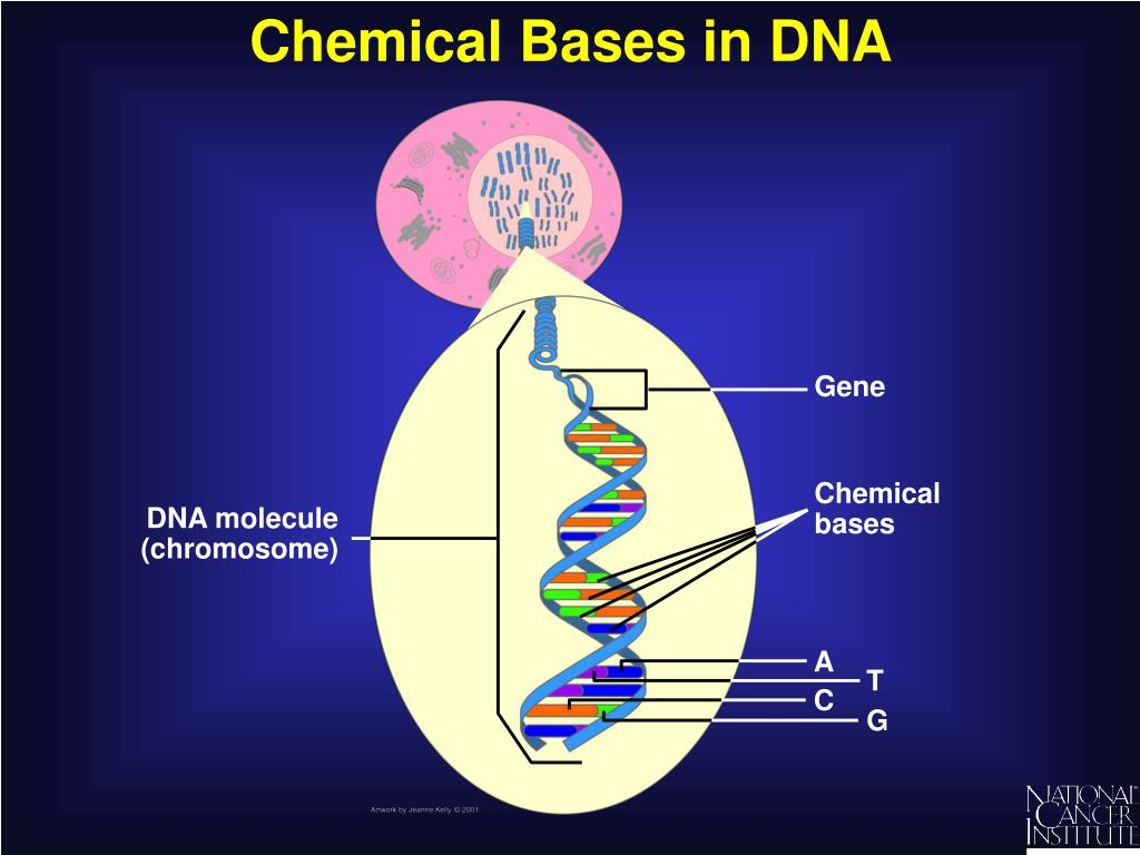 Chemical Bases in DNA