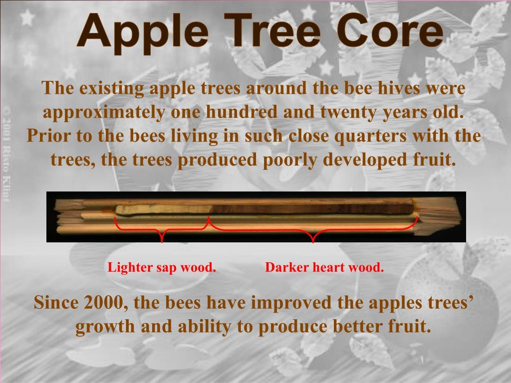 Apple Tree Core