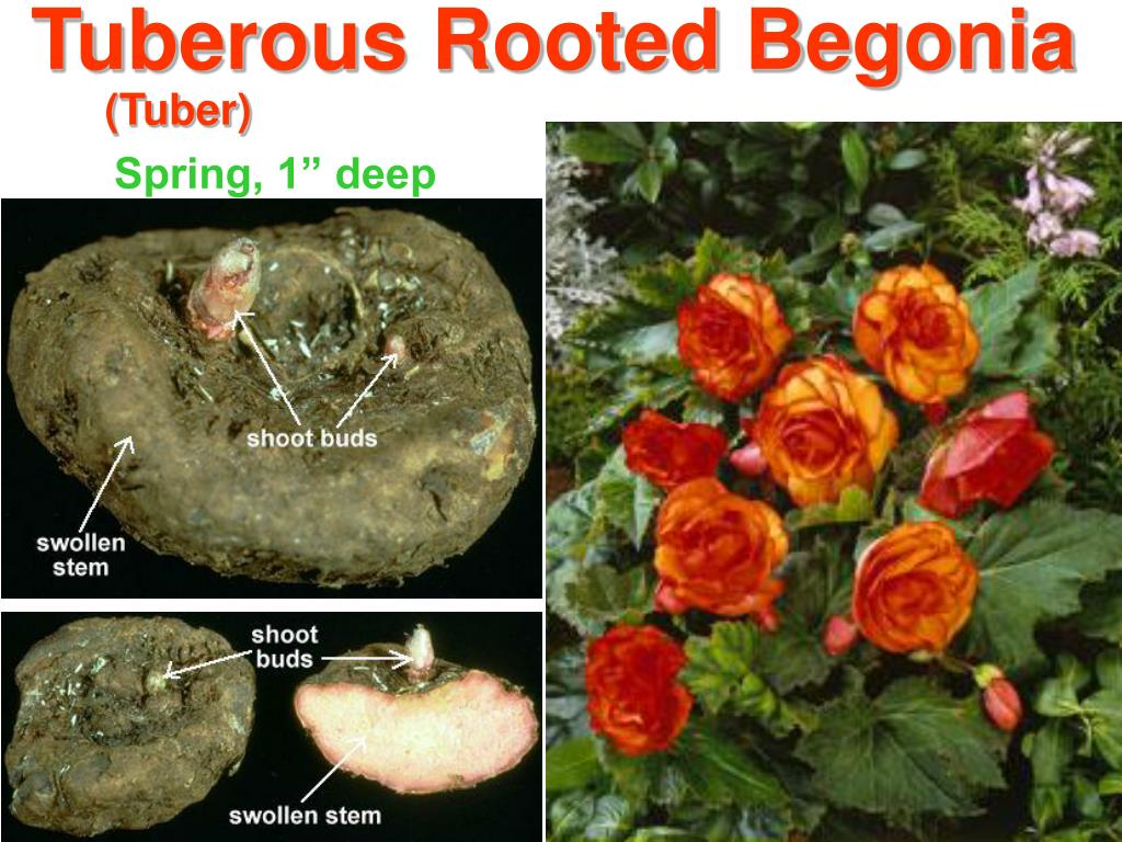 Tuberous Rooted Begonia