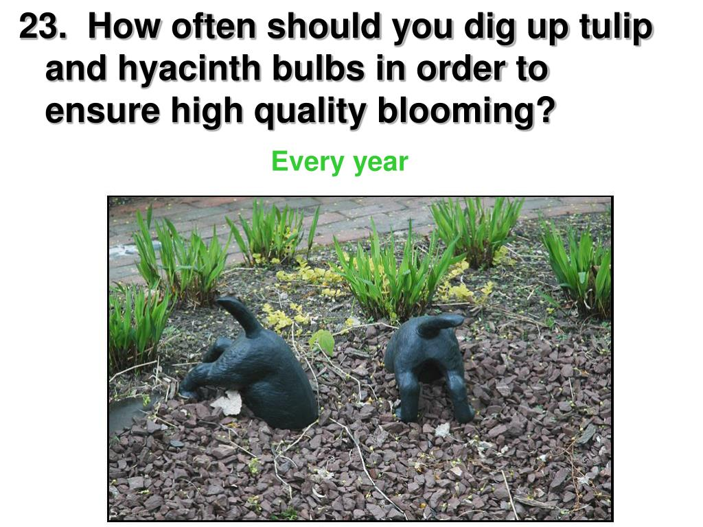 23.  How often should you dig up tulip and hyacinth bulbs in order to ensure high quality blooming?