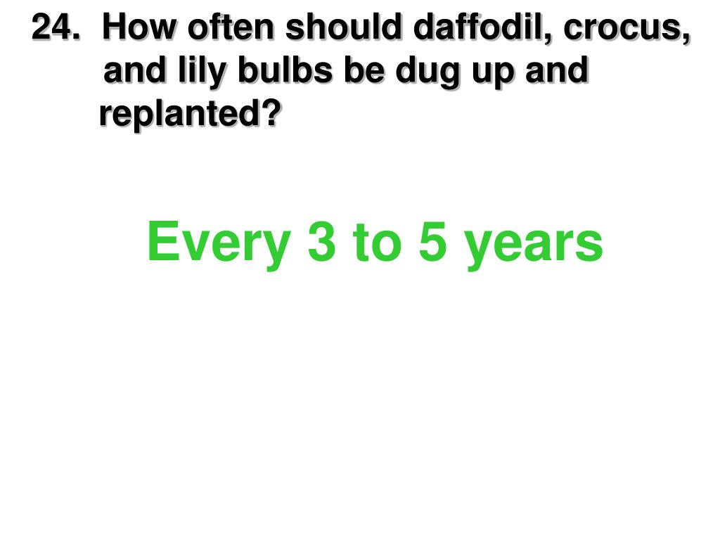 24.  How often should daffodil, crocus, and lily bulbs be dug up and         replanted?