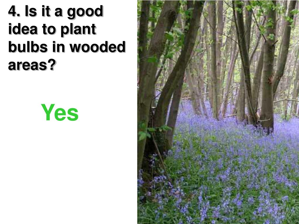 4. Is it a good idea to plant bulbs in wooded areas?
