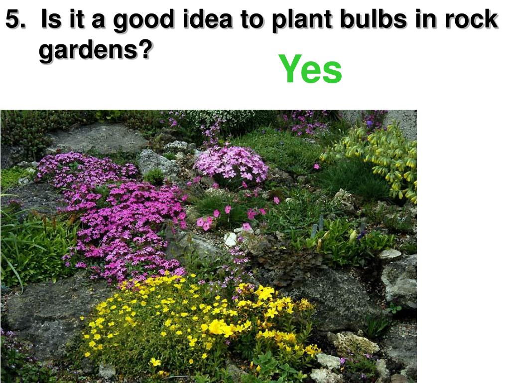 5.  Is it a good idea to plant bulbs in rock    gardens?
