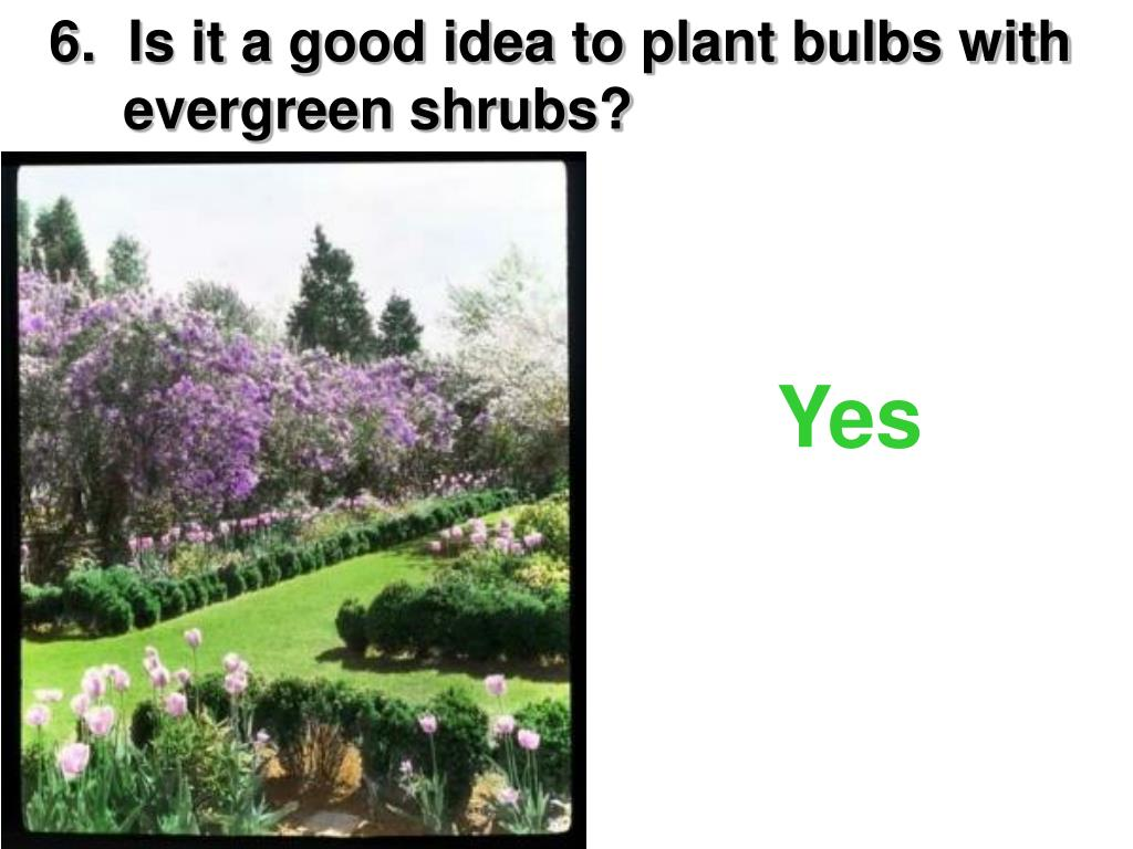 6.  Is it a good idea to plant bulbs with   evergreen shrubs?