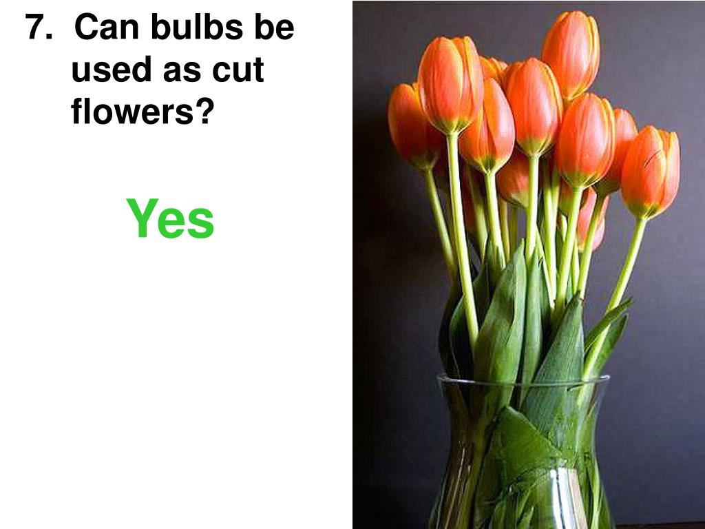 7.  Can bulbs be   used as cut    flowers?