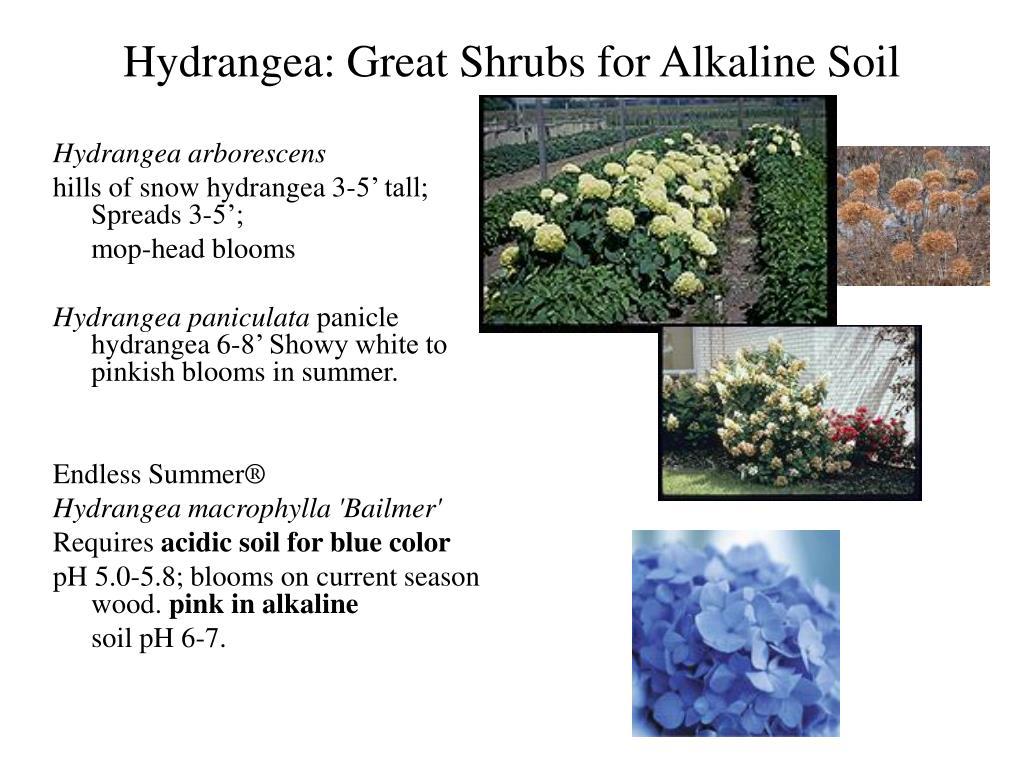 Hydrangea: Great Shrubs for Alkaline Soil