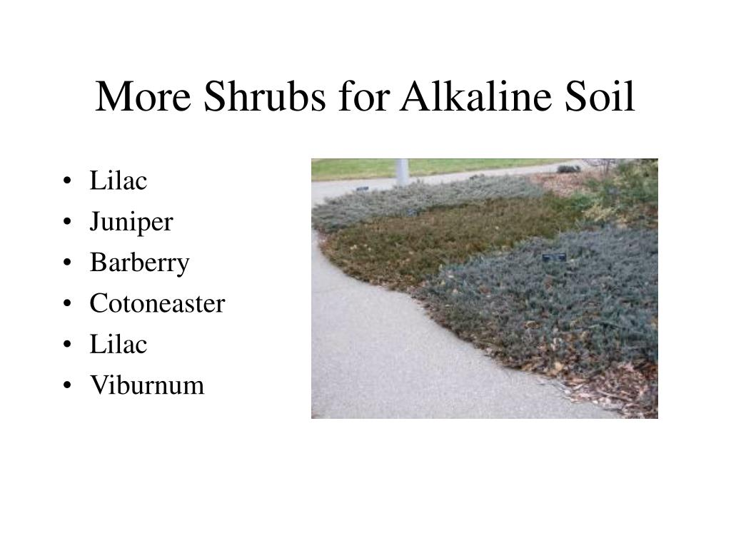 More Shrubs for Alkaline Soil