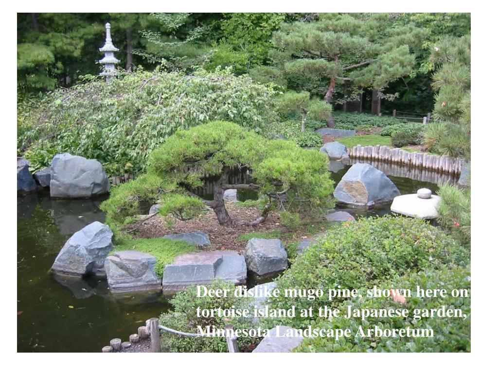 Deer dislike mugo pine, shown here on tortoise island at the Japanese garden,