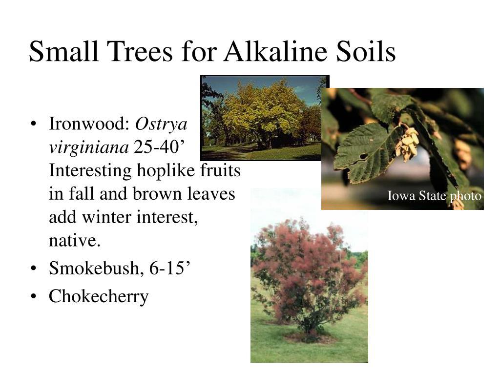 Small Trees for Alkaline Soils
