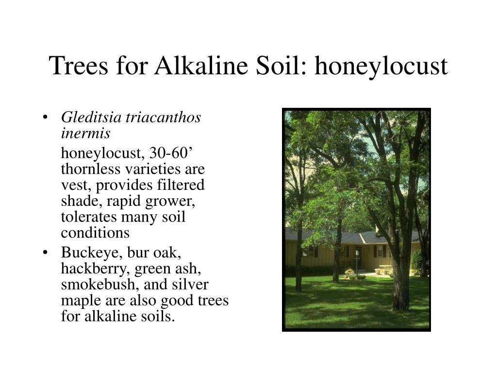 Trees for Alkaline Soil: honeylocust