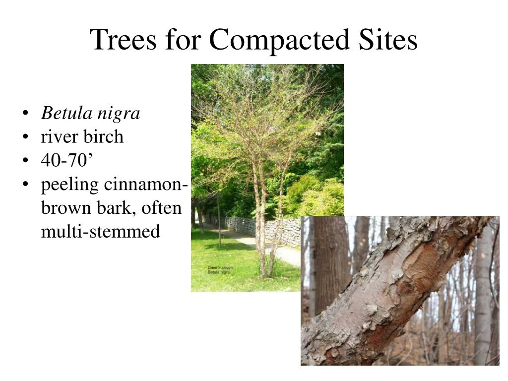 Trees for Compacted Sites