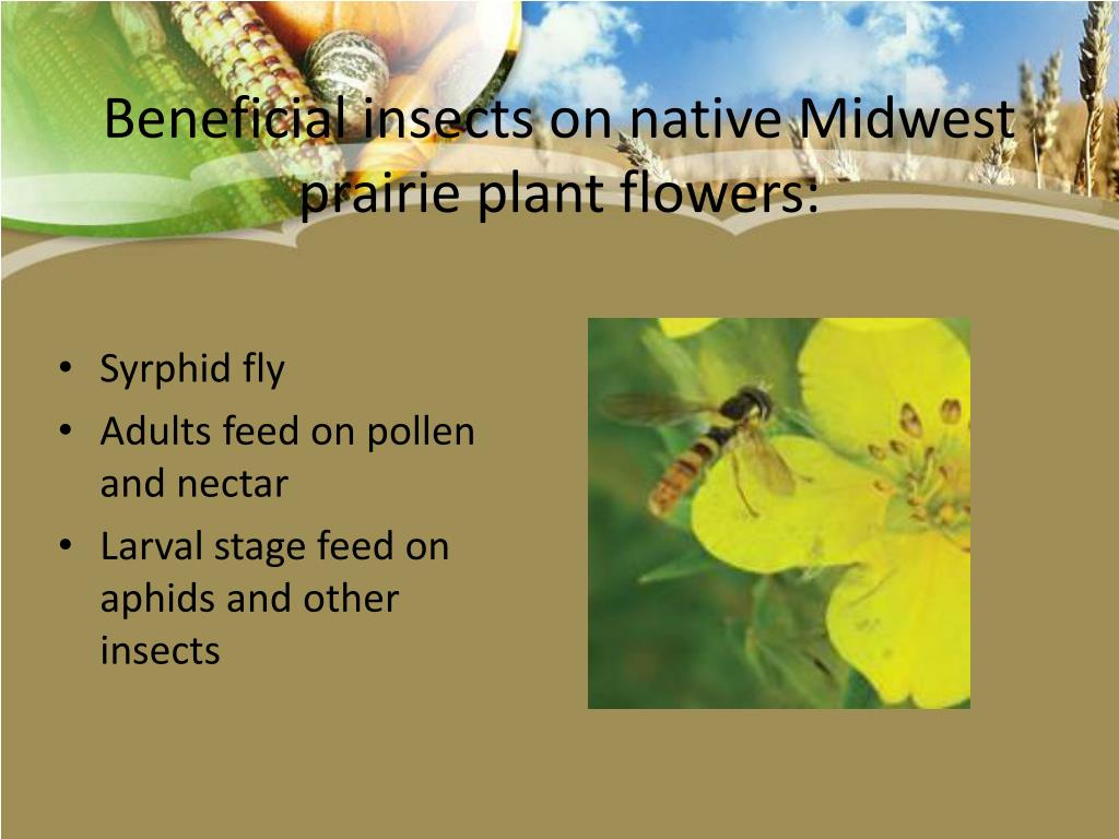 Beneficial insects on native Midwest prairie plant flowers: