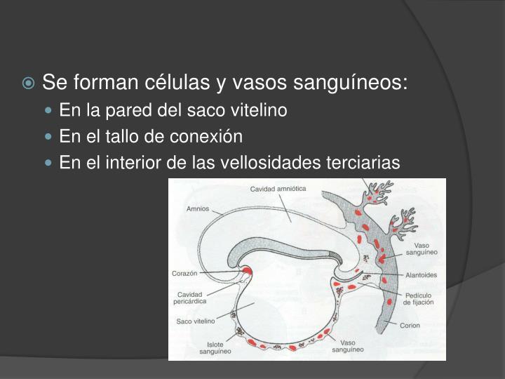 Se forman células y vasos sanguíneos: