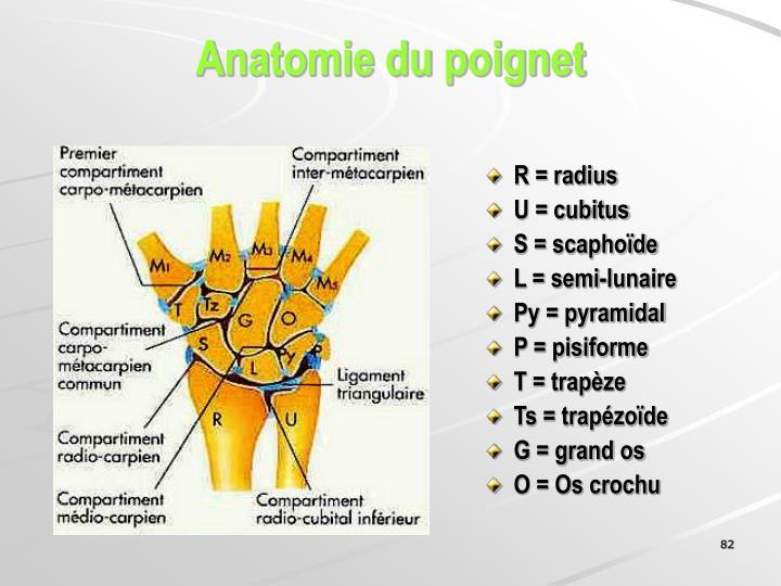 Anatomie du poignet