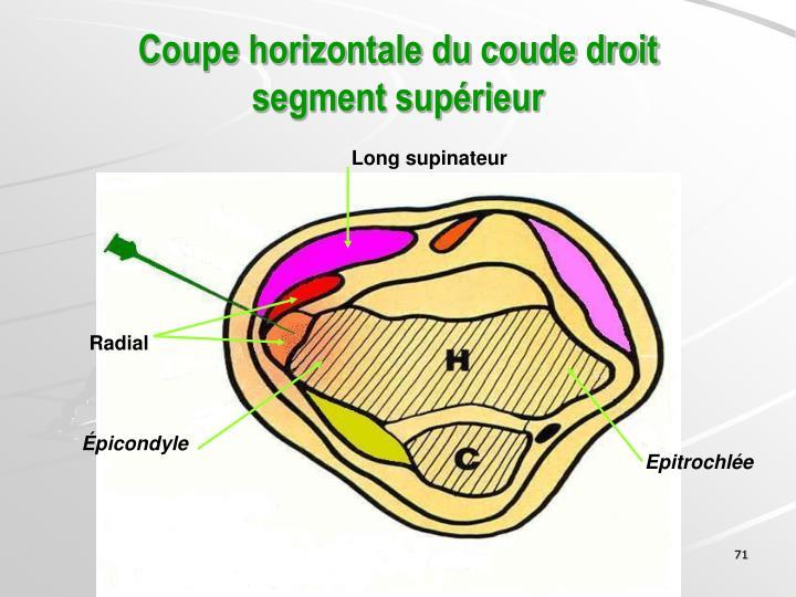 Coupe horizontale du coude droit