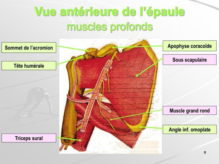 Vue antérieure de l'épaule