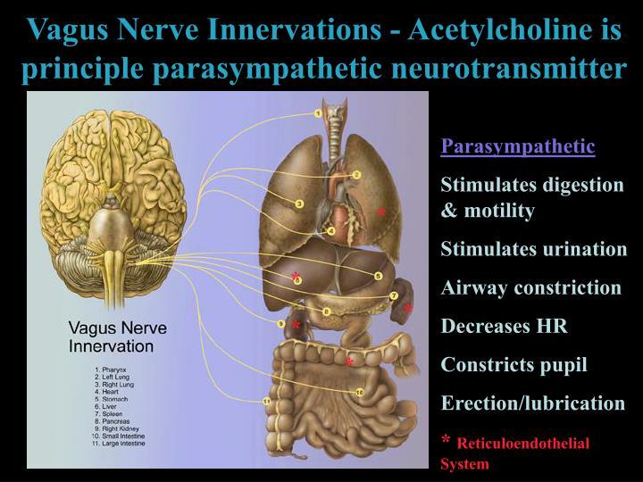 Vagus Nerve Innervations - Acetylcholine is principle parasympathetic neurotransmitter
