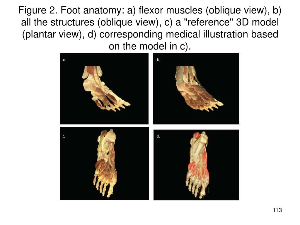 "Figure 2. Foot anatomy: a) flexor muscles (oblique view), b) all the structures (oblique view), c) a ""reference"" 3D model (plantar view), d) corresponding medical illustration based on the model in c)."
