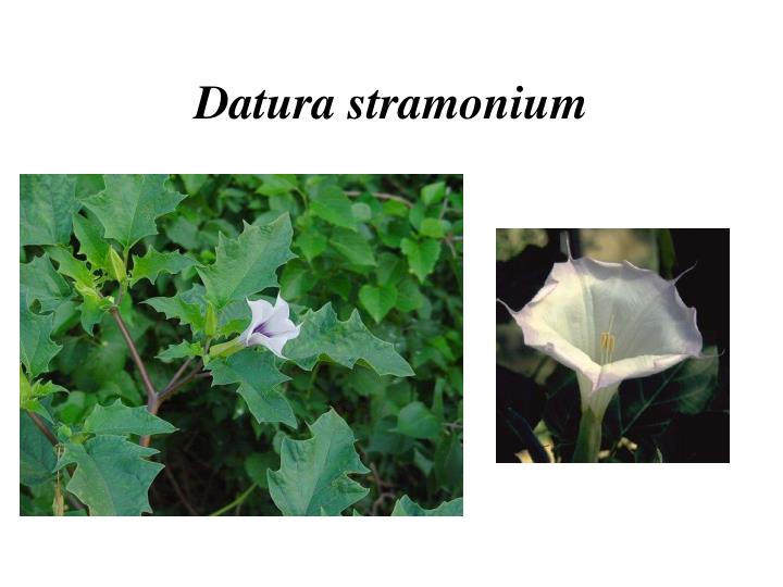 Datura stramonium
