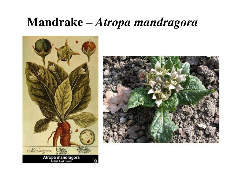 Mandrake –