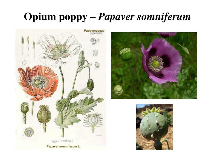 Opium poppy –