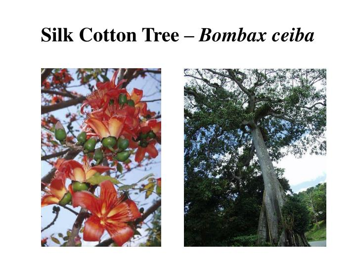 Silk Cotton Tree –
