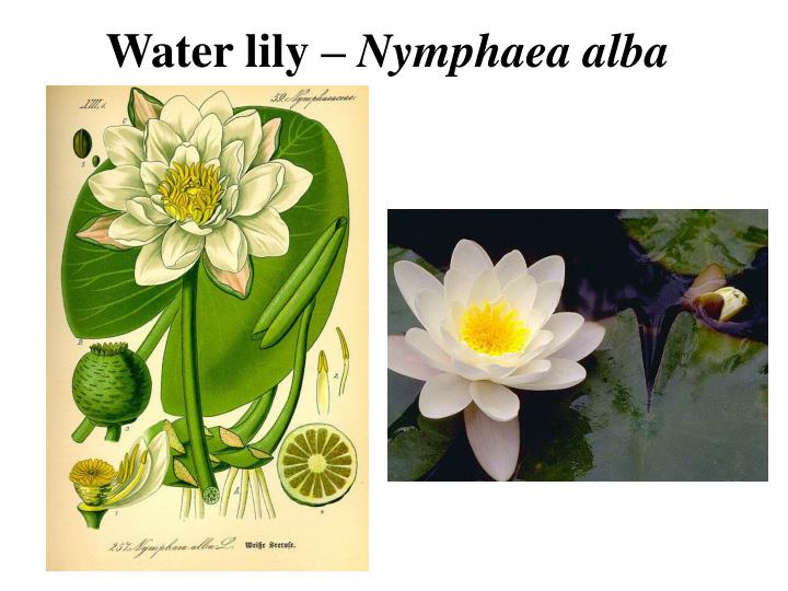 Water lily –