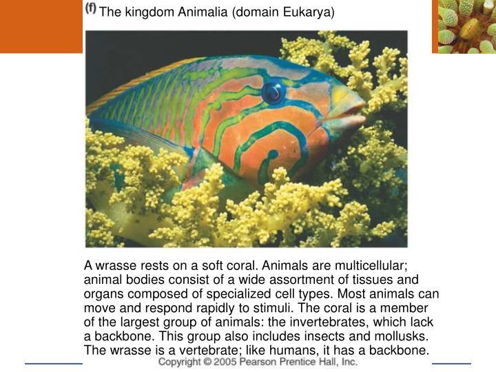 The kingdom Animalia (domain Eukarya)