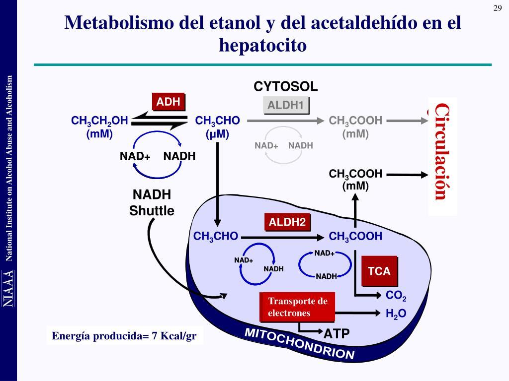 Metabolismo del etanol y del acetaldehído en el hepatocito