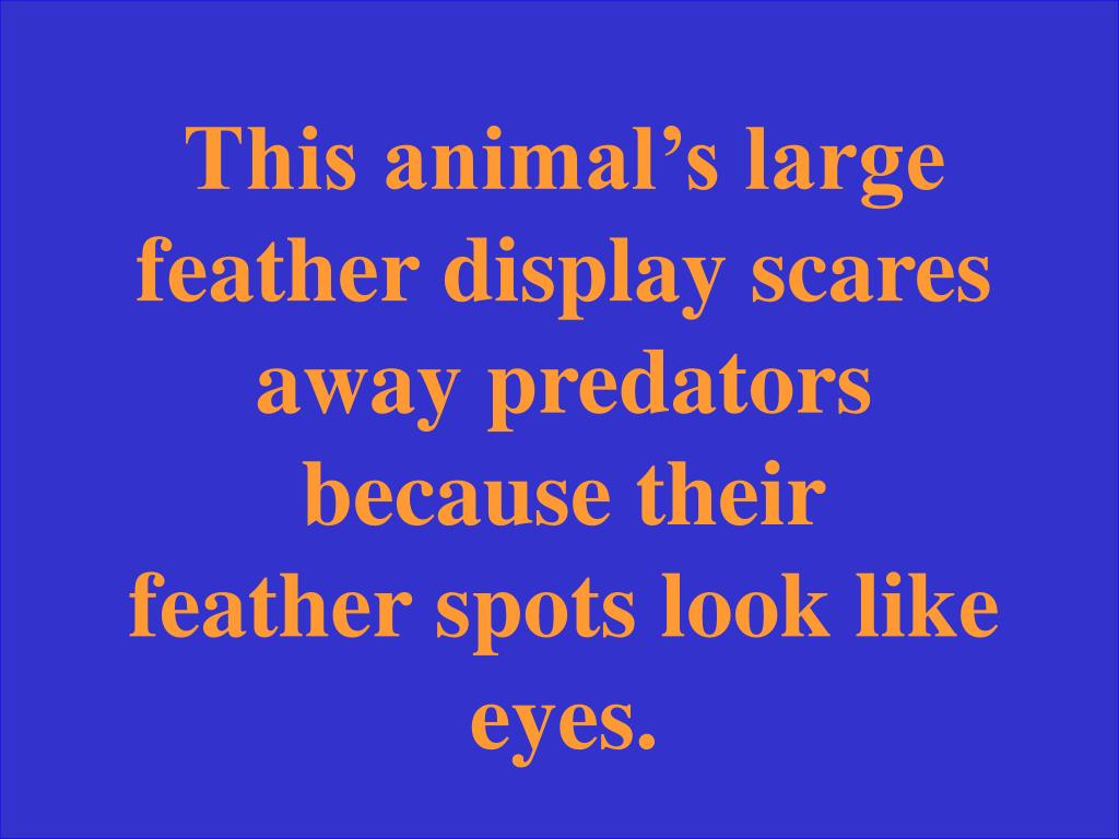 This animal's large feather display scares away predators because their