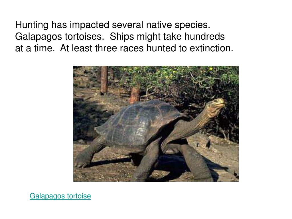 Hunting has impacted several native species.  Galapagos tortoises.  Ships might take hundreds at a time.  At least three races hunted to extinction.