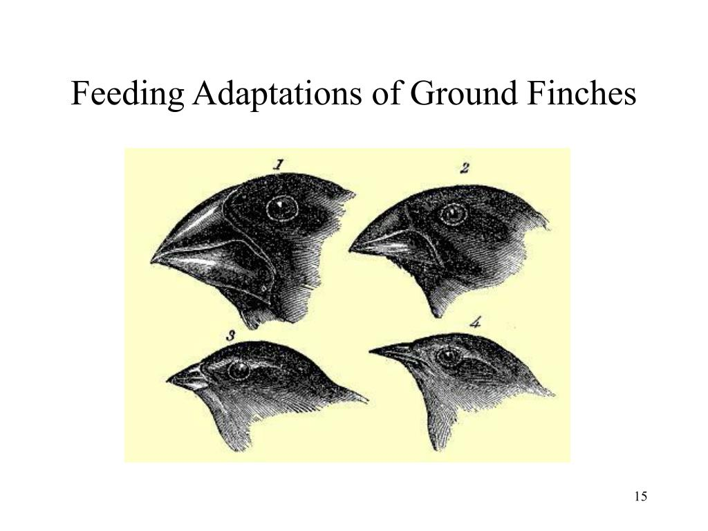 Feeding Adaptations of Ground Finches