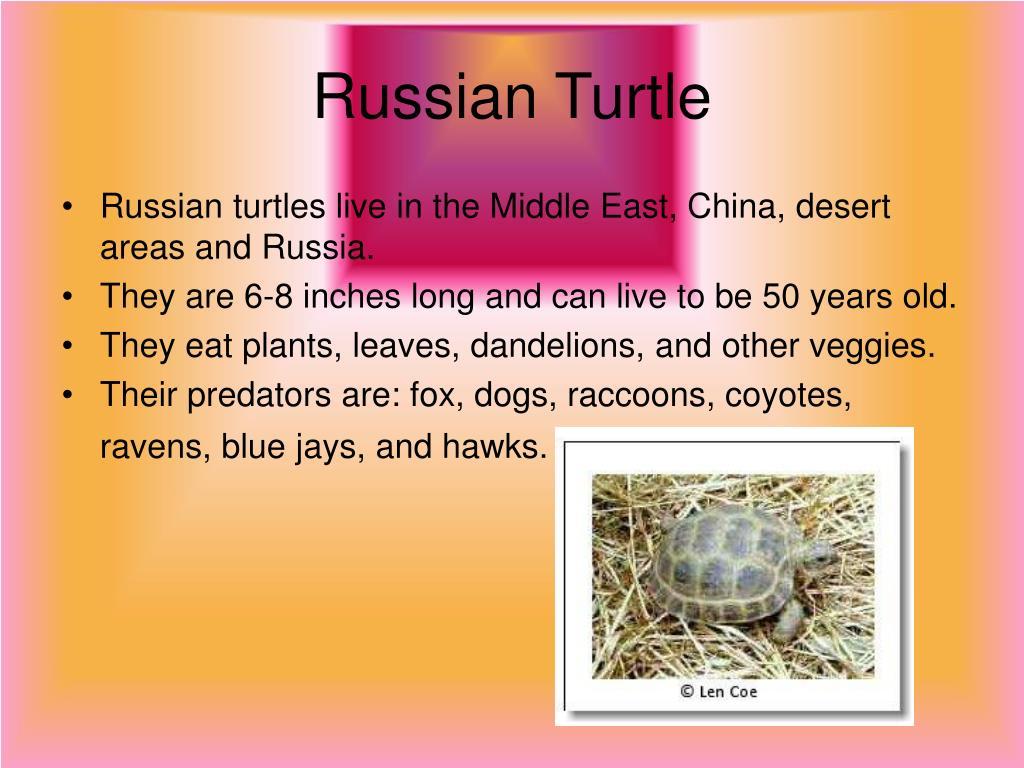 Russian Turtle